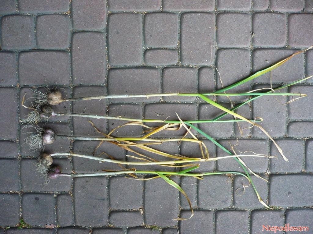 Gotowy do wykopania czosnek ma 50-60% zaschniętych liści. Fot. Niepodlewam Gotowy do wykopania czosnek ma 50-60% zaschniętych liści. Fot. Niepodlewam