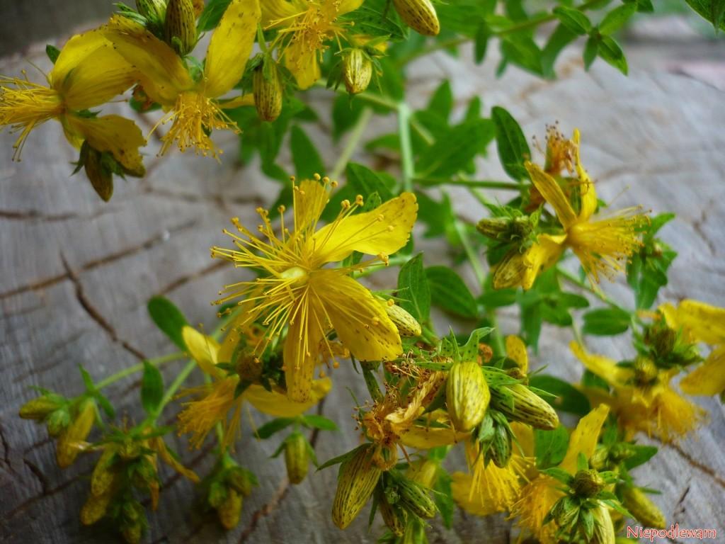 Zbiór dziurawca zwyczajnego zaczyna około 24 czerwca. Najlepsze do zbioru są pędy z młodymi kwiatami i pąkami. Fot. Niepodlewam
