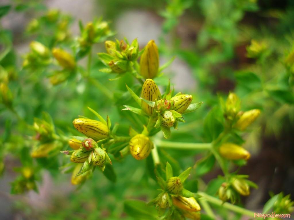 Dziurawiec zwyczajny łatwo uprawia się wogrodzie. Kwiatki iliski można dorzucać np.dosałatek. Fot.Niepodlewam