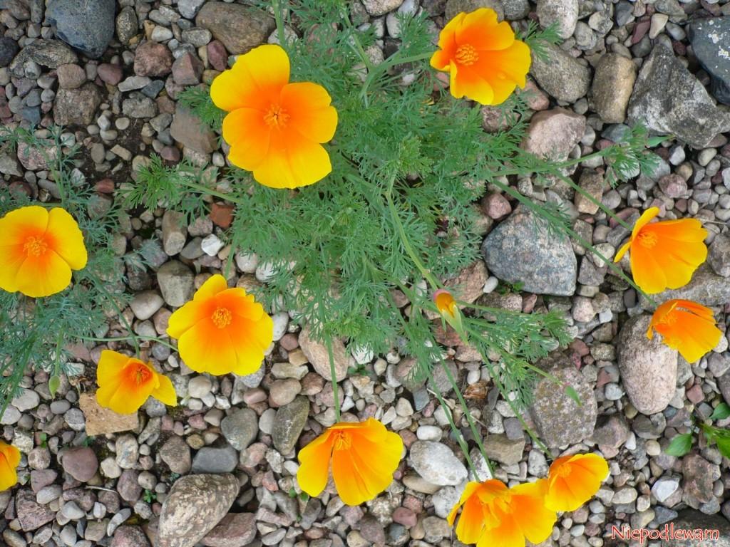 Maczek kalifornijski, zwany też eszolcja lub pozłotka, to mój ulubiony kwiat. Nie trzeba go podlewać. To on zainspirował mnie do stworzenia Niepodlewam.