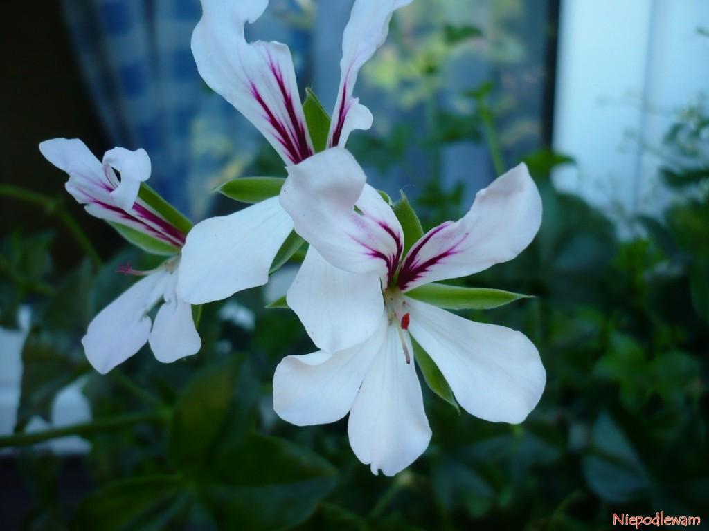 Kwiaty pelargonii bluszczolistnych często są wielokolorowe. Fot. Niepodlewam