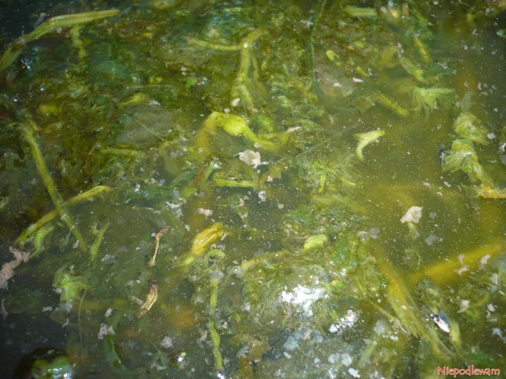Gotowa do użycia gnojówka z pokrzywy. Koniecznie trzeba ją rozcieńczać w proporcji 1 litr nawozu na 10 litrów wody. Fot. Niepodlewam