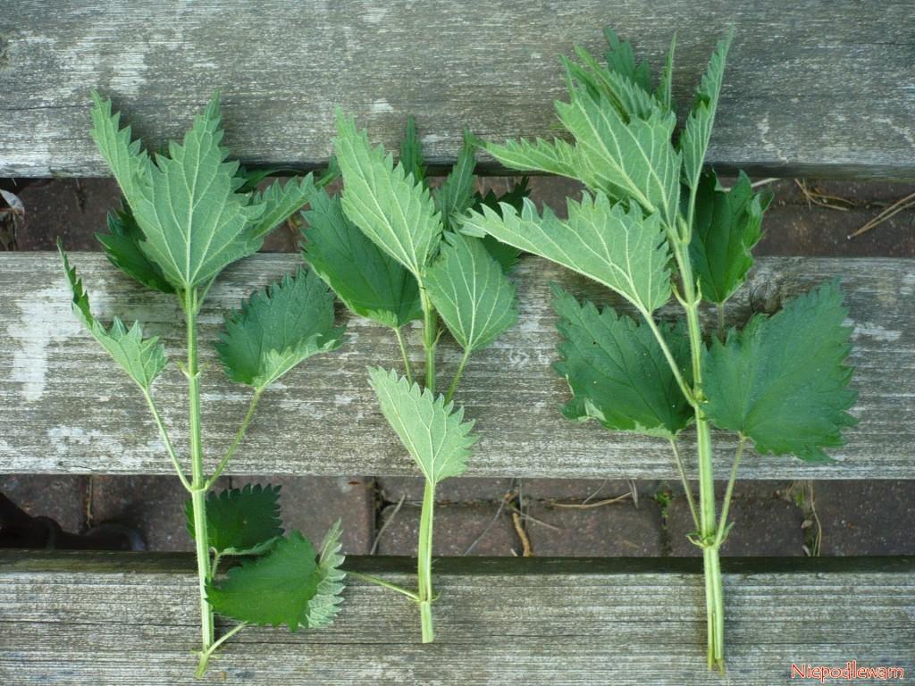 Na gnojówkę nadają się pędy odługości ok. 20 cm. Można też obrywać same liście. Aby niezniszczyć stanowiska, zrywa się maksymalnie 1/3 roślin. Resztę trzeba zostawić. Fot.Niepodlewam