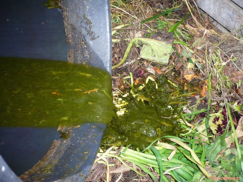 Resztki gnojówki zpokrzywy działają jak szczepionka przyśpieszająca kompostowanie. Fot.Niepodlewam