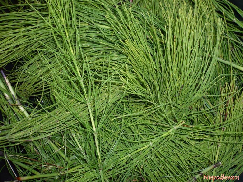 Zielonych (asymilacyjnych) pędów skrzypu polnego nie należy wyrzucać. Po usunięciu rozłogów są świetne na kompost i na gnojówkę do zasilania roślin. Fot. Niepodlewam
