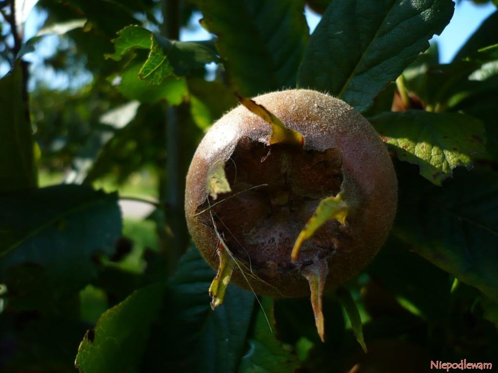 Tuż po zerwaniu owoce nieszpułki nie nadają się do jedzenia. Muszą kilka tygodni poleżeć w chłodzie. Fot. Niepodlewam