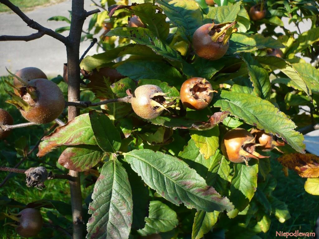 Pod koniec lata liście nieszpułki przebarwiają się na żółto, brązowieją i opadają. Owoce zaś zostają na gałęziach. Fot. Niepodlewam