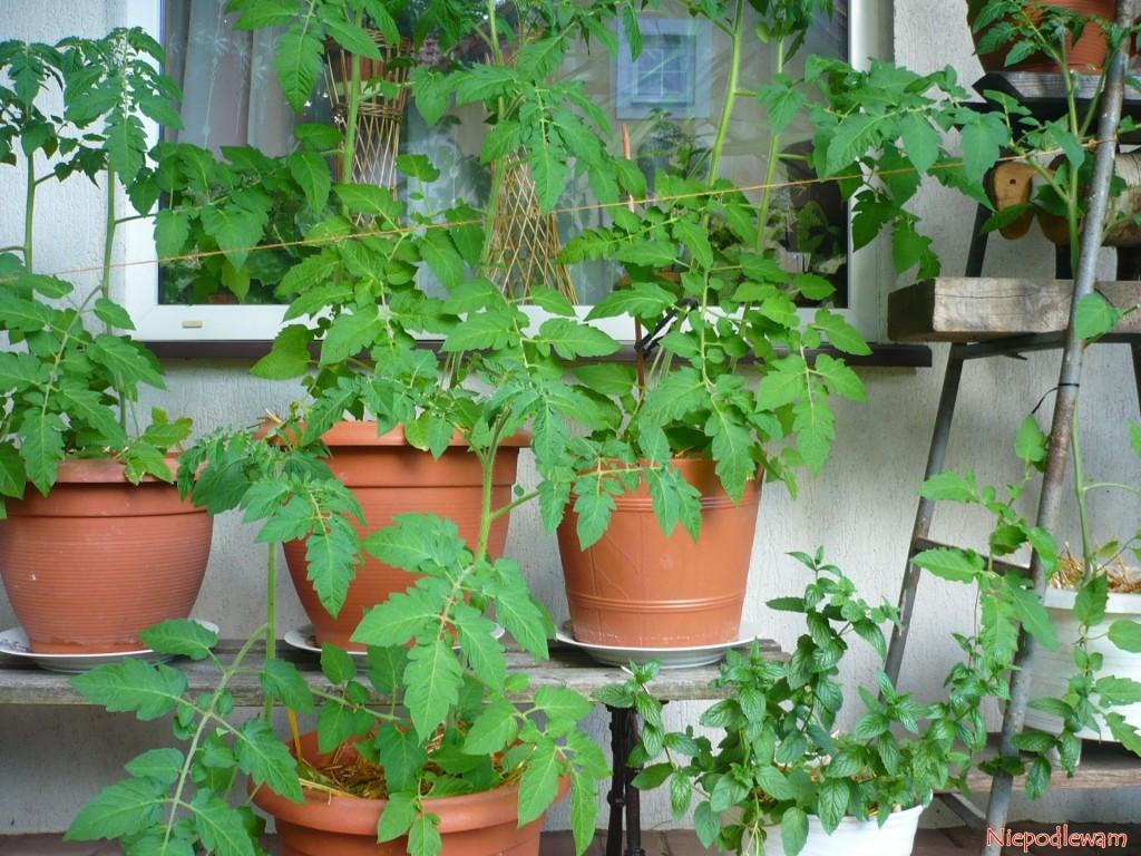 Pomidor Malinowy Kapturek doskonale rośnie na zadaszonych balkonach i tarasach. Donice muszą być duże, nie mniejsze niż o pojemności 5 l. Fot. Niepodlewam