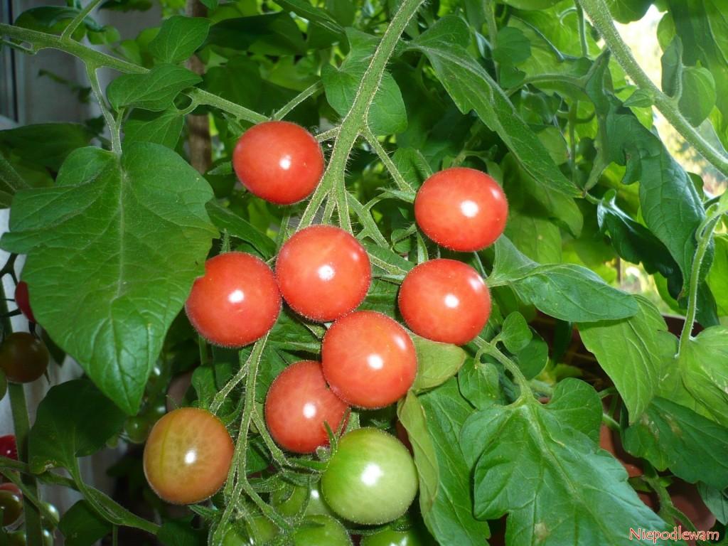 Owoce odmiany Malinowy Kapturek dojrzewają etapami. Dlatego zbiera się je długo, wmiarę zapotrzebowania wkuchni. Fot.Niepodlewam