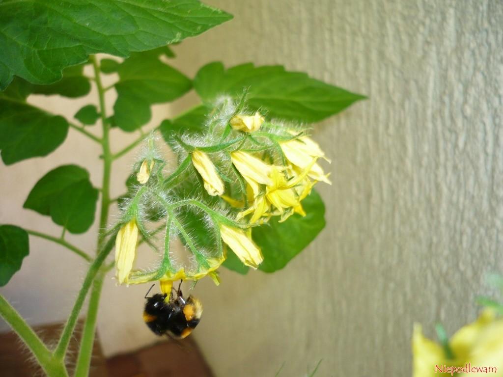 Kwiaty Malinowego Kapturka najczęściej zapylają trzmiele. Fot. Niepodlewam