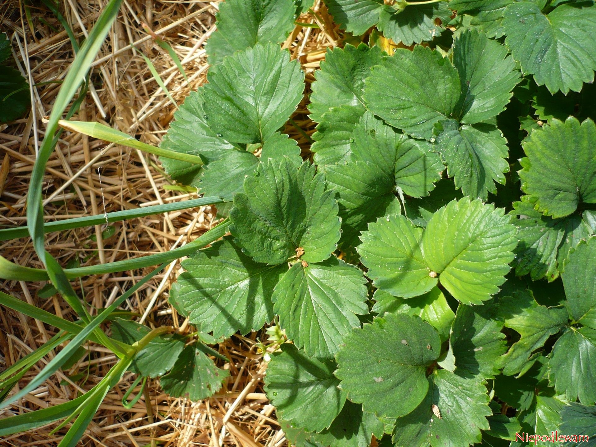 Truskawki – obok jakich roślin rosną dobrze lub źle