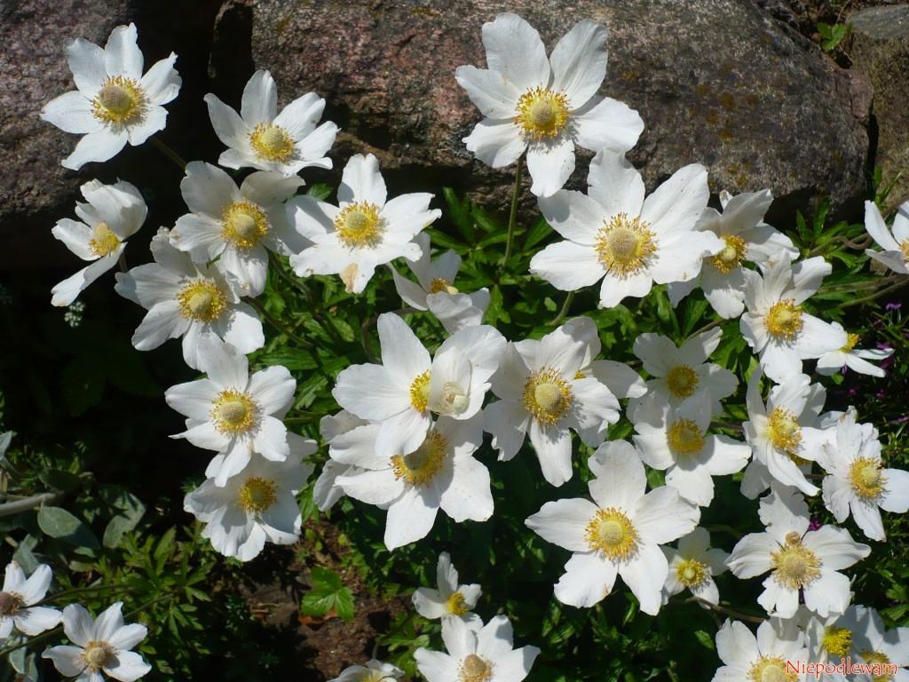 Zawilec wielkokwiatowy (Anemone silvestris)
