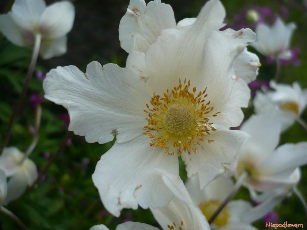 Zawilec wielkokwiatowy to trująca roślina. Należy unikać kontaktu z jego sokiem. Fot. Niepodlewam