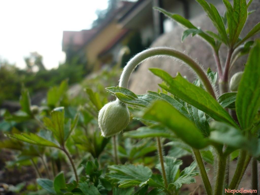 Pierwsze pąki zawilców wielkokwiatowych pojawią się w kwietniu. Fot. Niepodlewam