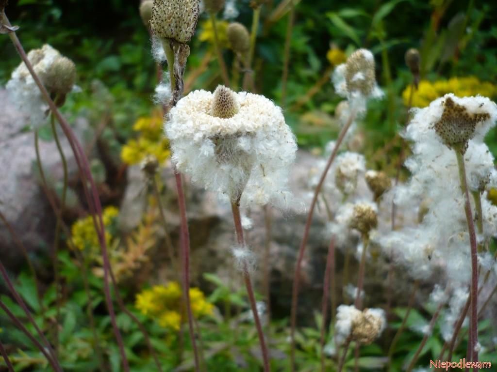 Przypominające bawełniany puch nasiona zawilców wielkokwiatowych są niezwykle dekoracyjne. Fot. Niepodlewam