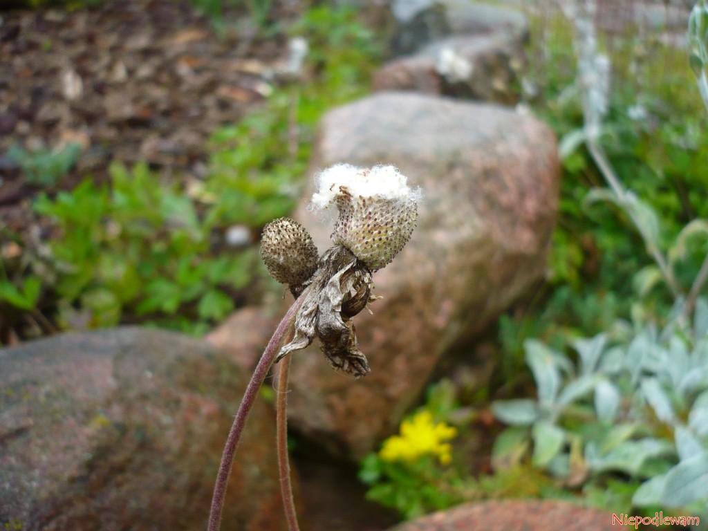 Zawilce wielkokwiatowe doskonale rosną na skalniakach, zwłaszcza obok wapieni. Na zdjęciu jest uchwycony moment wydawania nasion. Fot. Niepodlewam