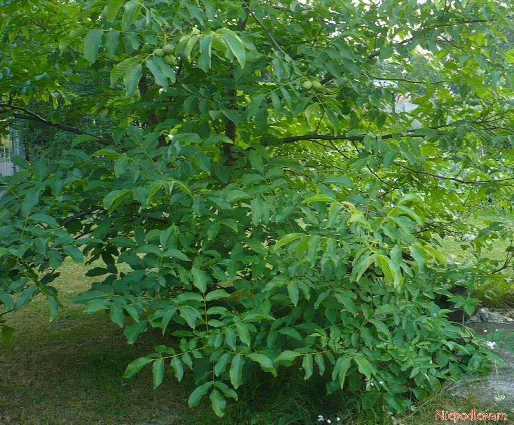 Orzech włoski (Juglans regia) - do ukorzeniania nadają się tylko rośliny o pokroju krzaczasty, tak jak ten. Tak wyhodowane drzewka owocują bardzo szybko i identycznie jak rośliny-matki.