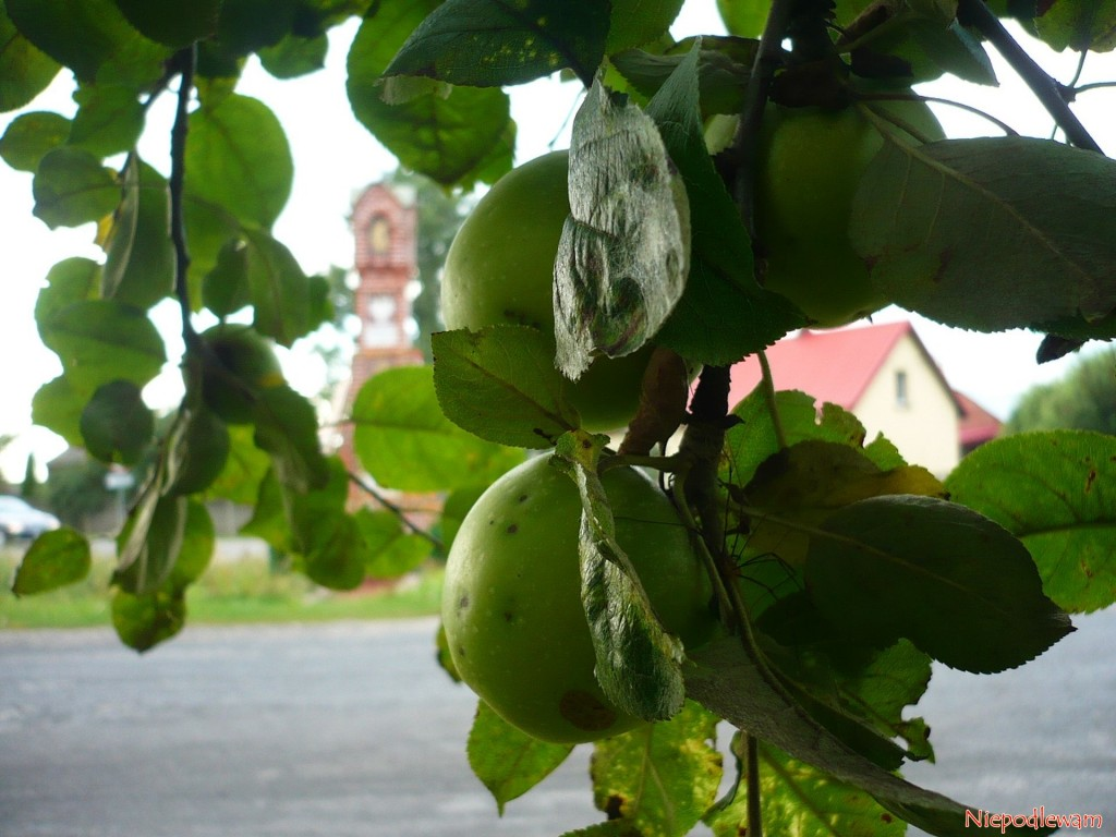 Jabłoń Kosztela - można ją dość często spotkać w starych ogrodach i sadach. Fot. Niepodlewam