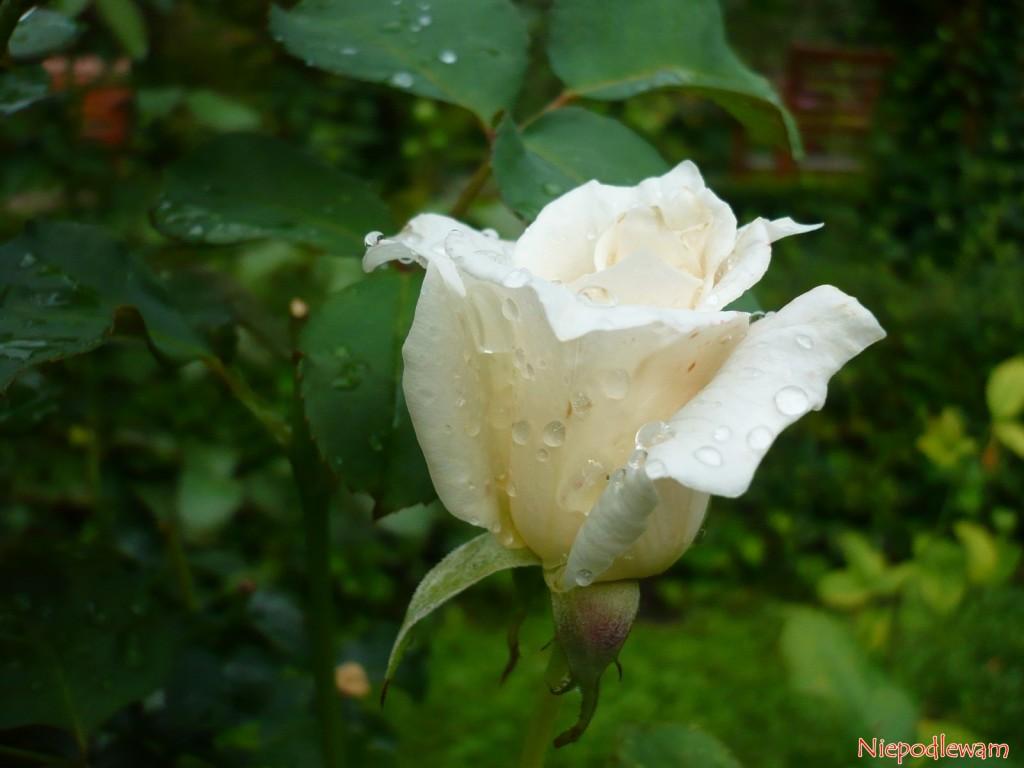 Róża Papst Johannes XXIII - odmiana z 1963 roku o białych kwiatach, jak papieska sutanna. Fot. Niepodlewam