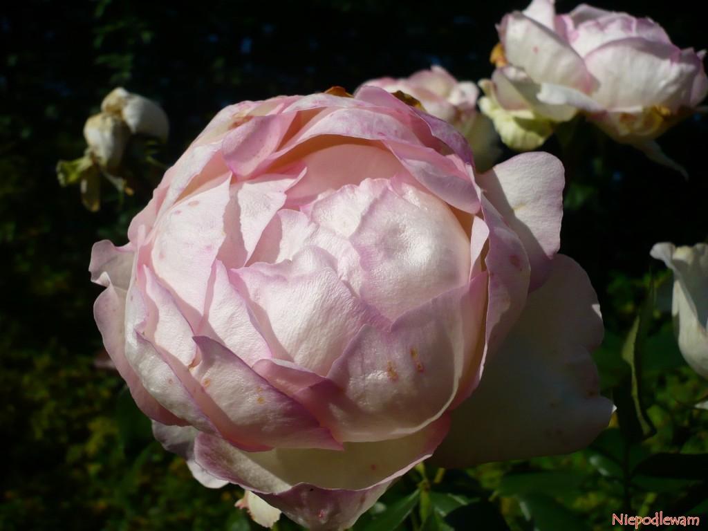 Róża Honore de Balzac ma kuliste, różowobiałe kwiaty. Fot. Niepodlewam