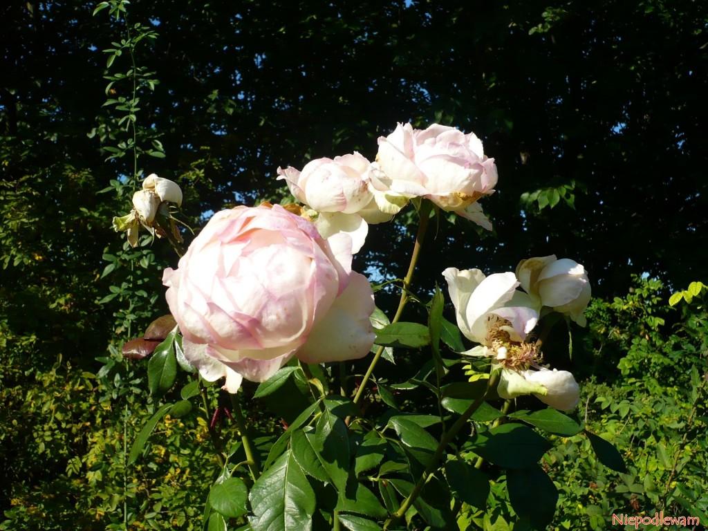 Kwiaty róży Honore de Balzac są zpodobne dopiwonii. Fot.Niepodlewam