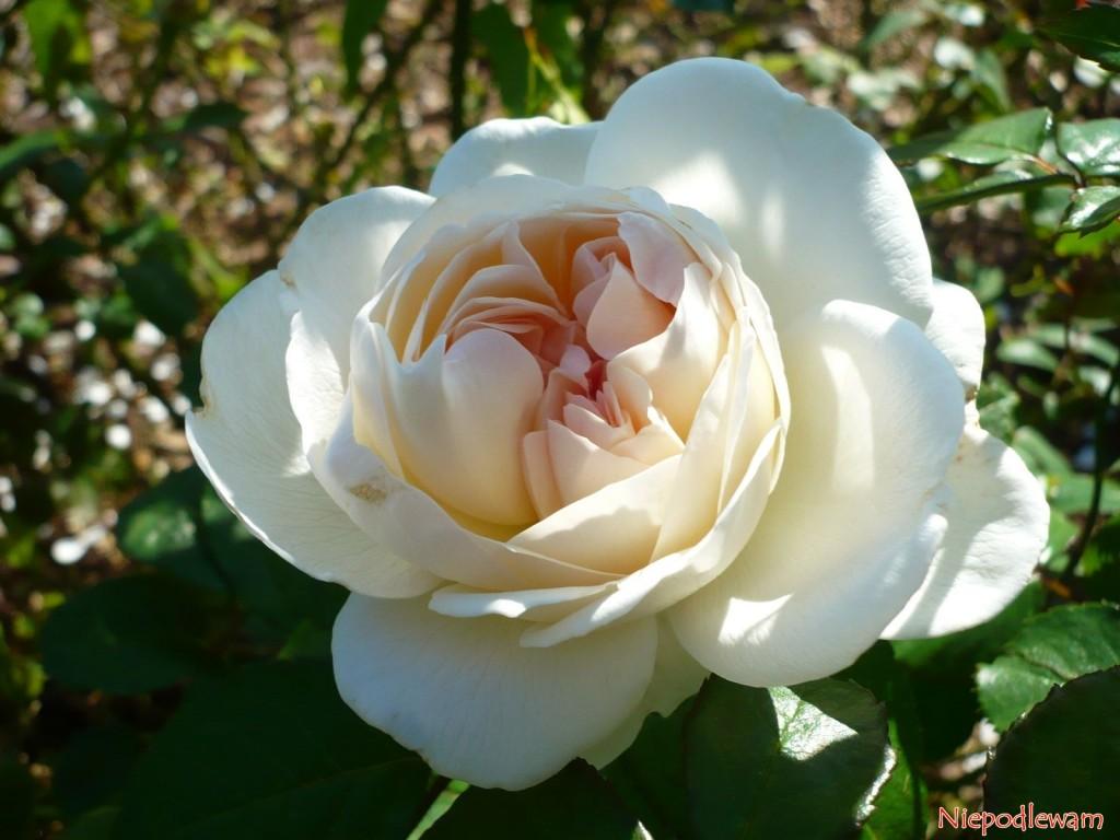 Róża Sebastian Kneipp ma kwiaty kremowobiałe, pięknie pachnące. Fot.Niepodlewam