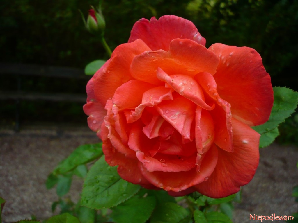 roza rose sophia loren