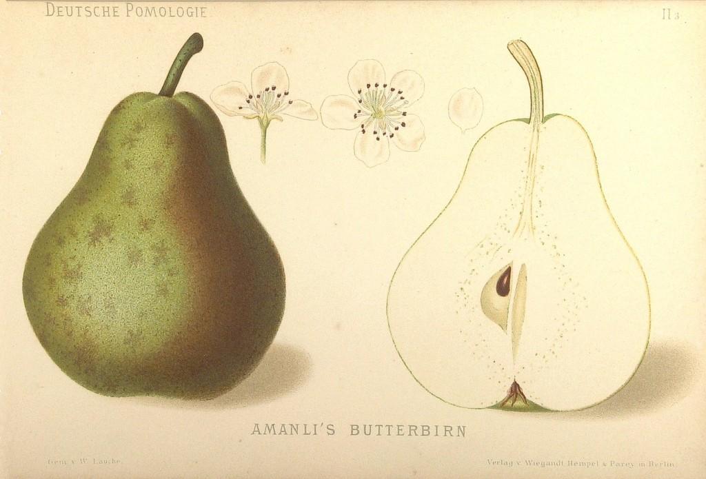 """Grusza odmiany Amanlisa – rysunek z książki """"Deutsche Pomologie"""" Wilhelma Lauche z 1882-1883, ze zborów biblioteki Wageningen UR."""