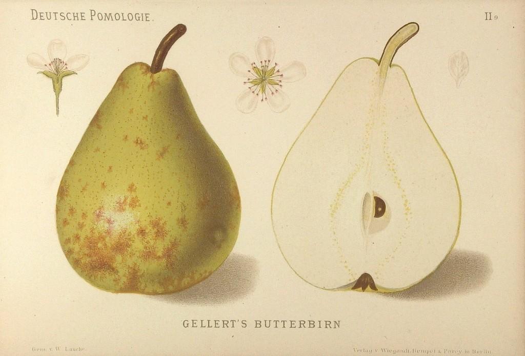 Grusza Bera Hardego - pochodzenie, czas dojrzewania, smak iwygląd owoców, wymagania, inne nazwy