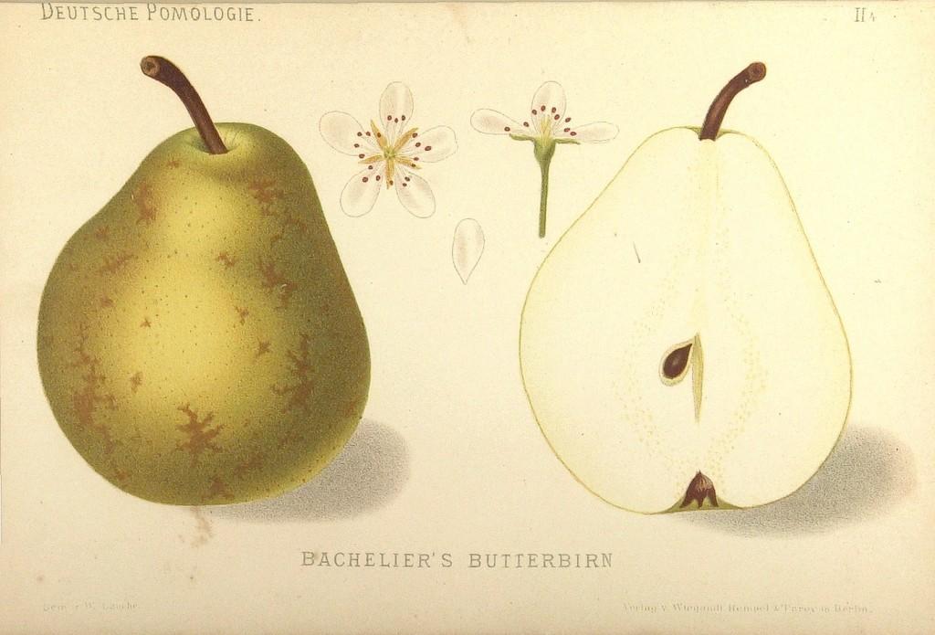 Grusza Bachelier Baszelie owoc kwiaty