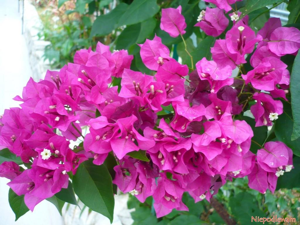 Bugenwilla (Bougainvillea) Vera Deep Purple to pnącze zachwycające różowymi podkwiatkami. Fot. Niepodlewam