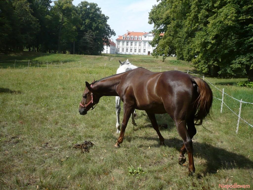 Z nawozów zwierzęcych do zasilania warzywnika bardzo dobry jest obornik koński. Szczególnie dużo azotu jest w odchodach zebranych na pastwisku. Fot. Niepodlewam