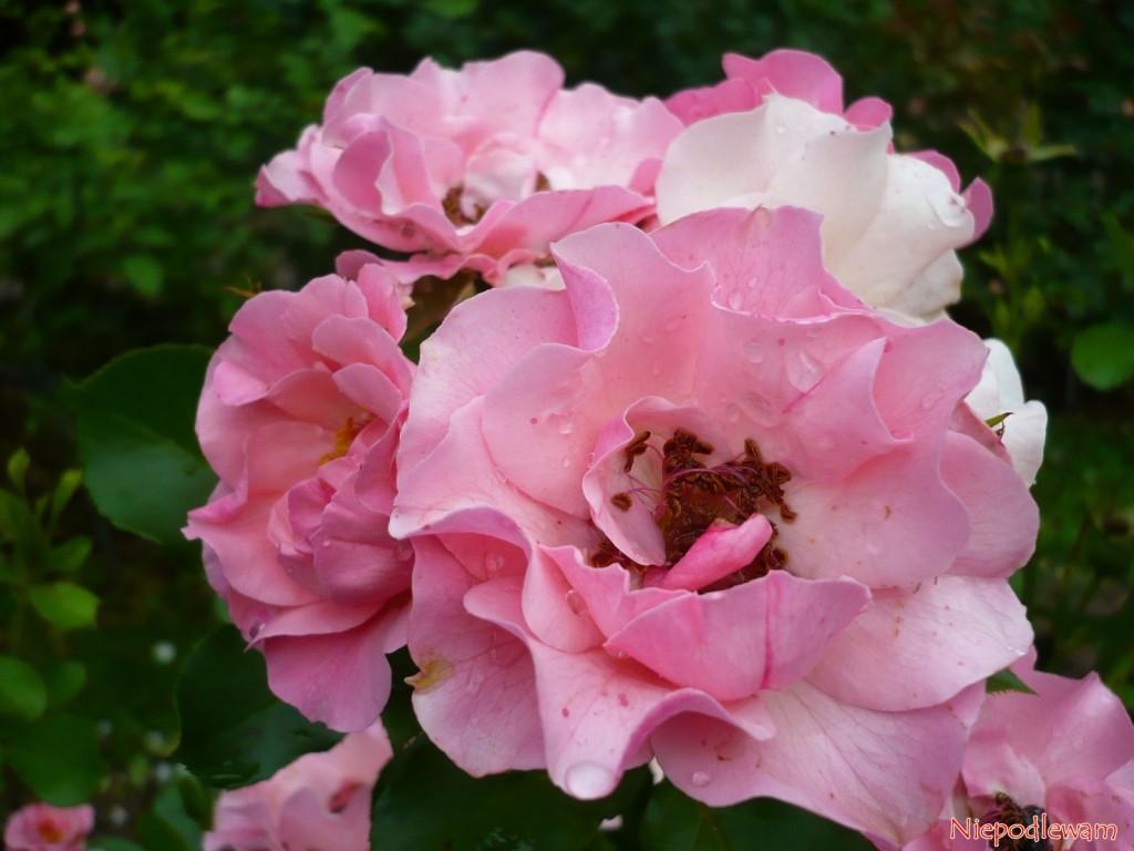 Róża odmiany Alicja - jej półpełne, różowe kwiaty mają charakterystyczne falbanki. Fot. Niepodlewam