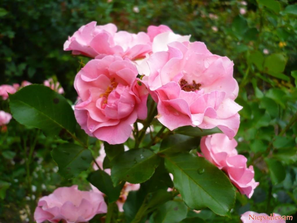 Róża odmiany Alicja ma ładne, ciemnozielone liście. Fot. Niepodlewam