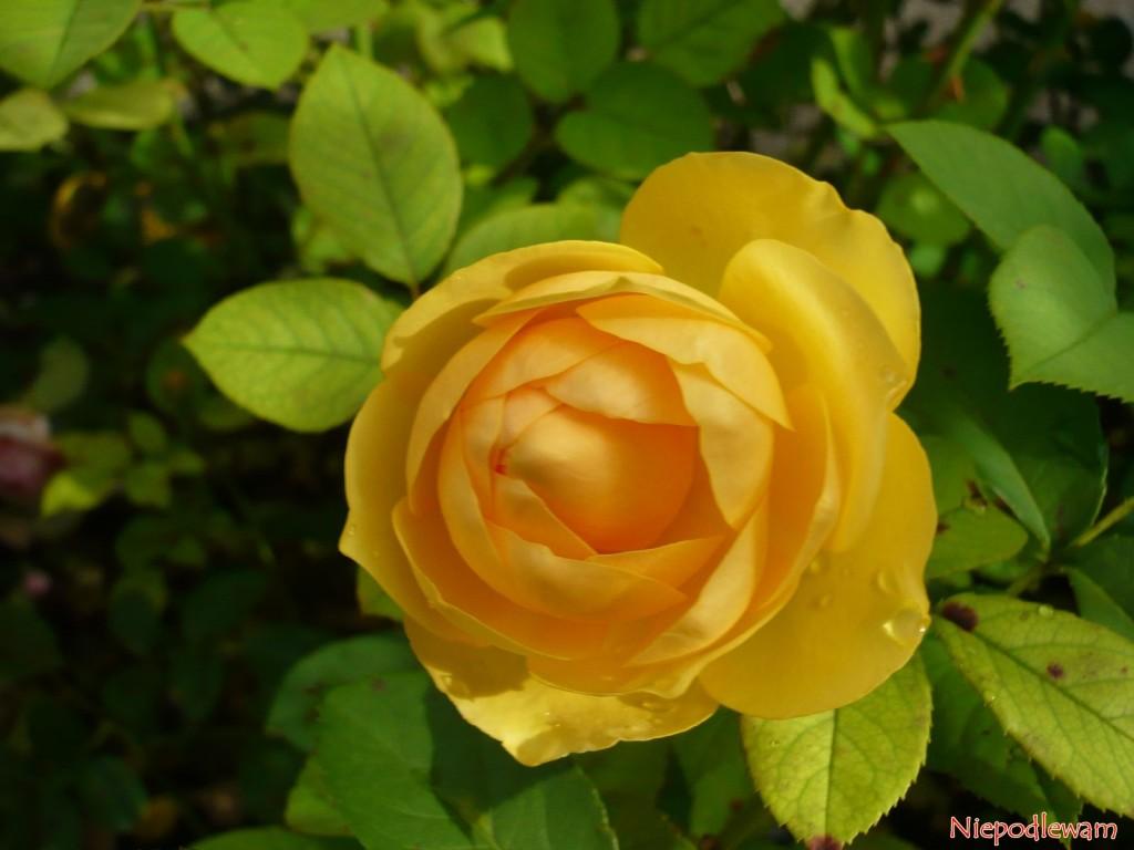 Róża Graham Thomas - odmiana o żółtych, mocno pachnących kwiatach. Fot. Niepodlewam