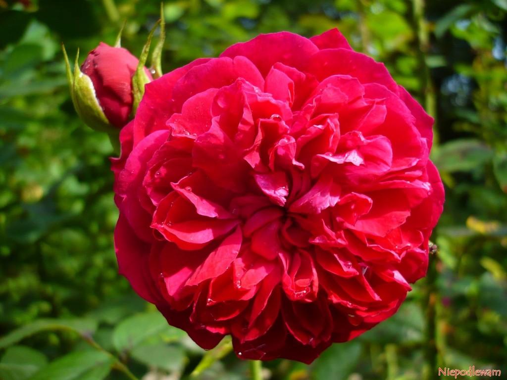 Róża William Shakespeare - odmiana o czerwonych, silnie pachnących kwiatach przypominających dalie lub piwonie. Fot. Niepodlewam
