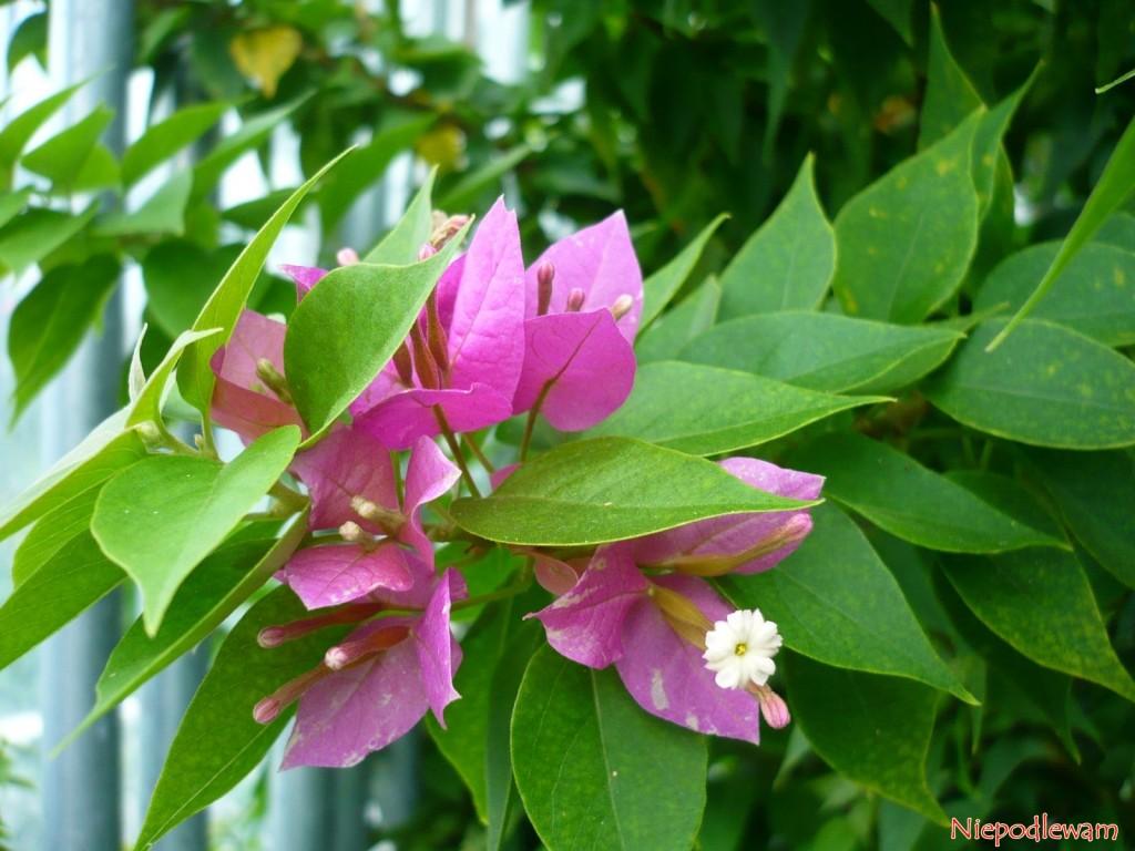 Bugenwilla Purple Dwarf ma różowe podkwiatki. Prawdziwe kwiaty są białe, trudno je zauważyć. Fot.Niepodlewam