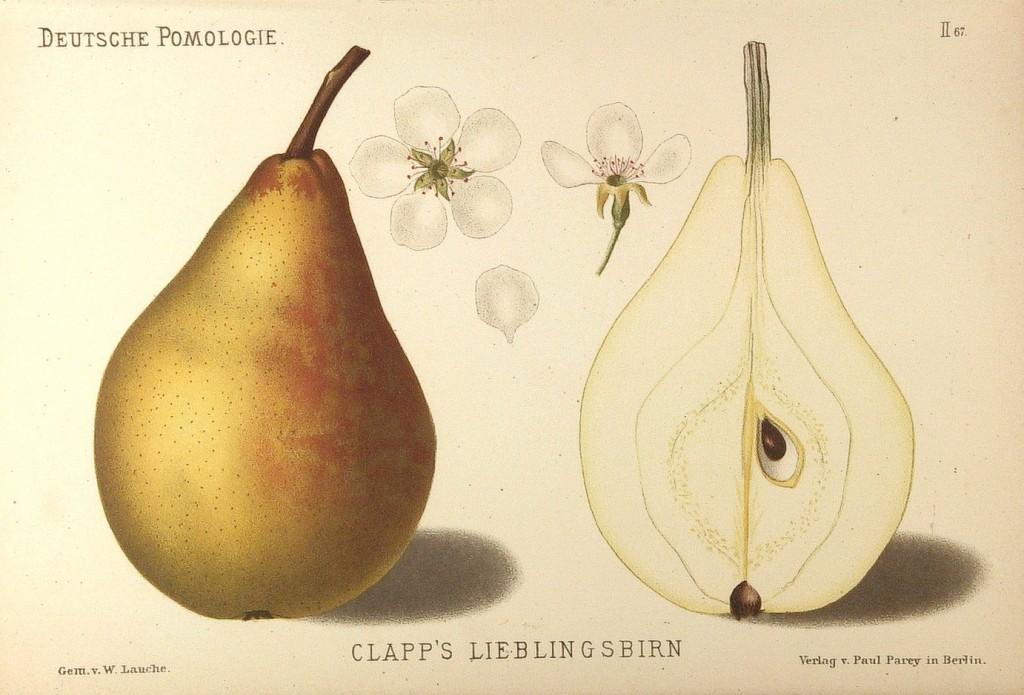 """Grusza odmiany Faworytka, zwana też popularnie Klapsą – rysunek z książki """"Deutsche Pomologie"""" Wilhelma Lauche z 1882-1883, ze zborów biblioteki Wageningen UR."""