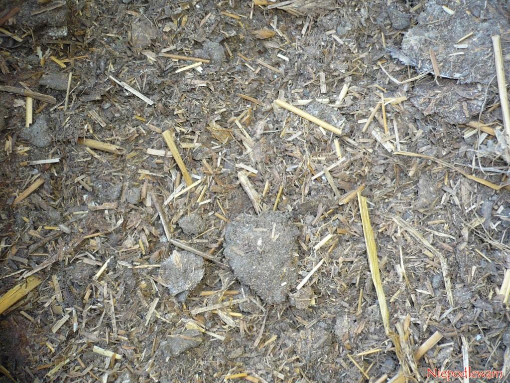 Ściółka zesłomy wkurzaku torównież wartościowy dodatek donawożenia ogrodu. Wzbogaca glebę wpróchnicę. Fot.Niepodlewam