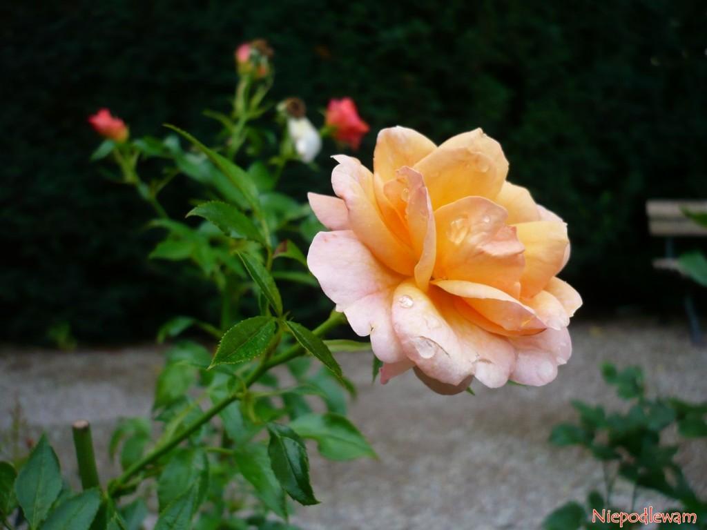 Róża odmiany Aprikola ma bardzo ciekawy różowomorelowy kolor. Pachnie delikatnie. Fot. Niepodlewam