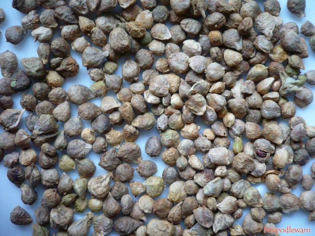 Szpinak olbrzym Zimowy ma dość duże nasiona. Fot.Niepodlewam