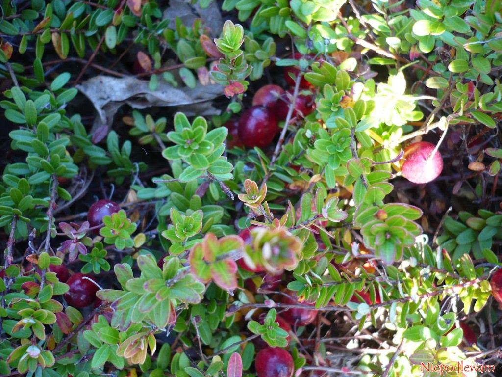 W ogrodach najczęściej uprawia się żurawinę wielkoowocową (Vaccinum macrocarpon), która ma duże owoce (na zdjęciu: odmiana Franklin). Rzadziej uprawiana jest żurawina błotna (Vaccinium oxycoccus), która rośnie dziko na polskich bagnach. Fot. Niepodlewam