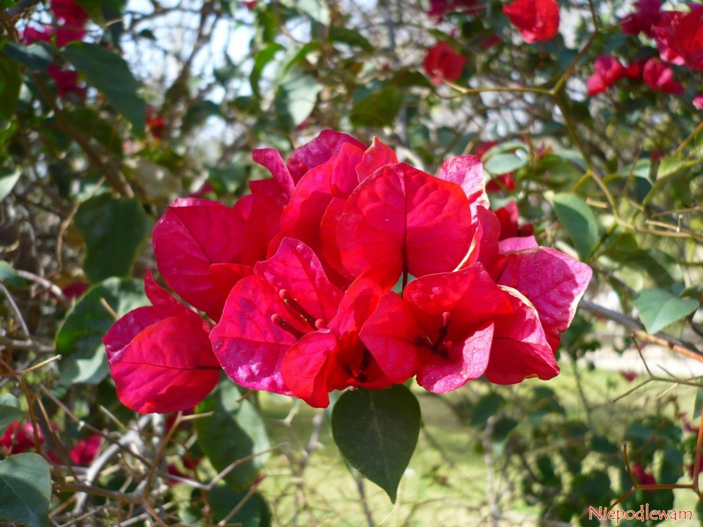 Bugenwilla ma kolorowe przykwiatki, wyglądające jak wycięte zbibułki. Jej rozmnażanie zsadzonek jest trudne. Fot.Niepodlewam