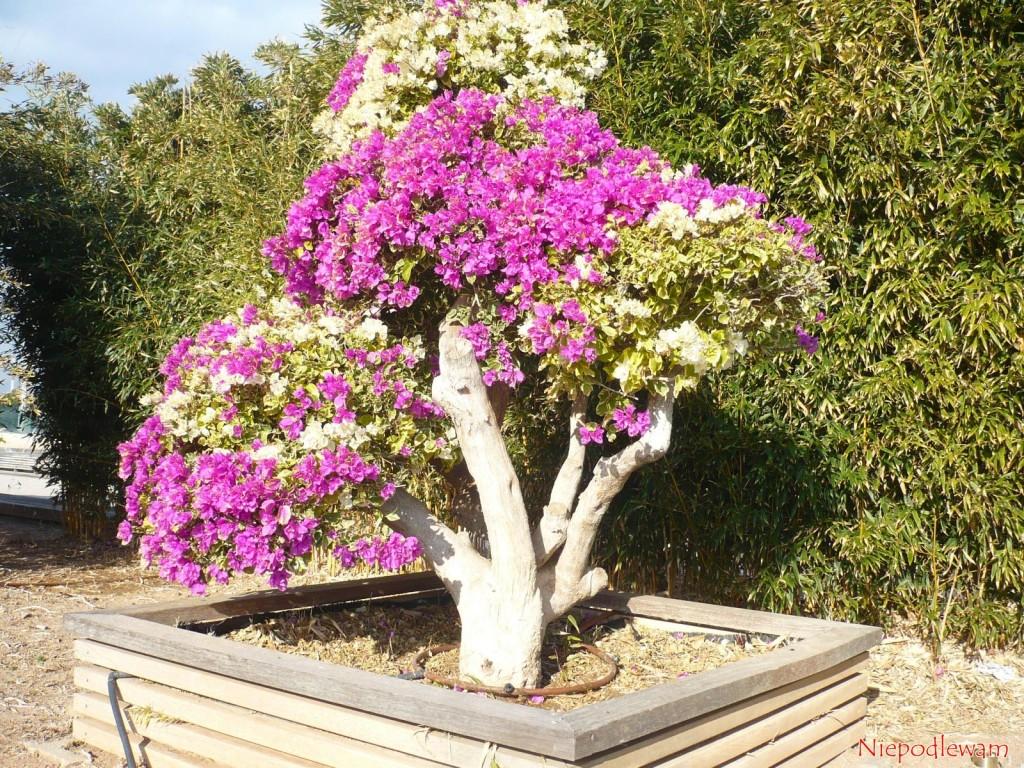 Bugenwilla zaszczepiona - są na niej dwie odmiany (biała i różowo).  Ten stary egzemplarz jest prowadzony w formie niskiego drzewka. Fot. Niepodlewam