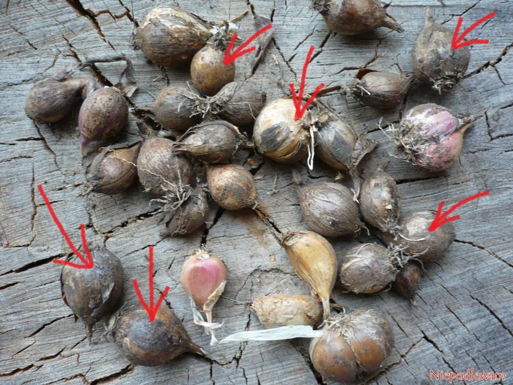 W pierwszym roku uprawy cebulki powietrzne osiągają wielkość pojedynczych ząbków czosnku. Nazdjęciu strzałkami jest zaznaczony czosnek zcebulek powietrznych. Fot.Niepodlewam