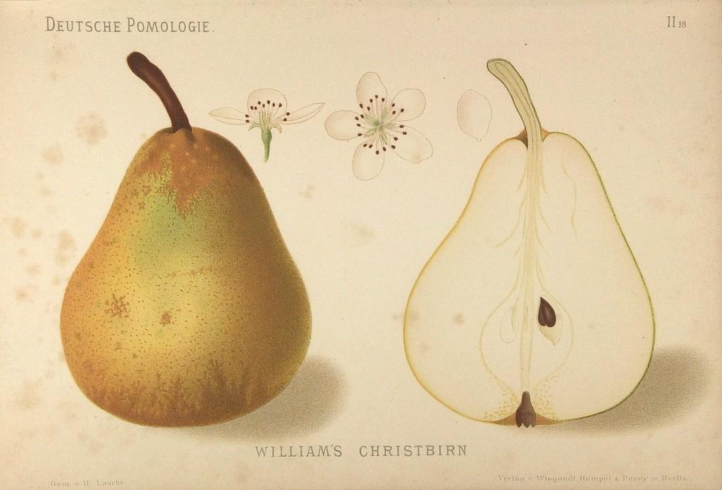 """Grusza Bonkreta Williamsa – rysunek z książki """"Deutsche Pomologie"""" Wilhelma Lauche z 1882-1883, ze zborów biblioteki Wageningen UR."""