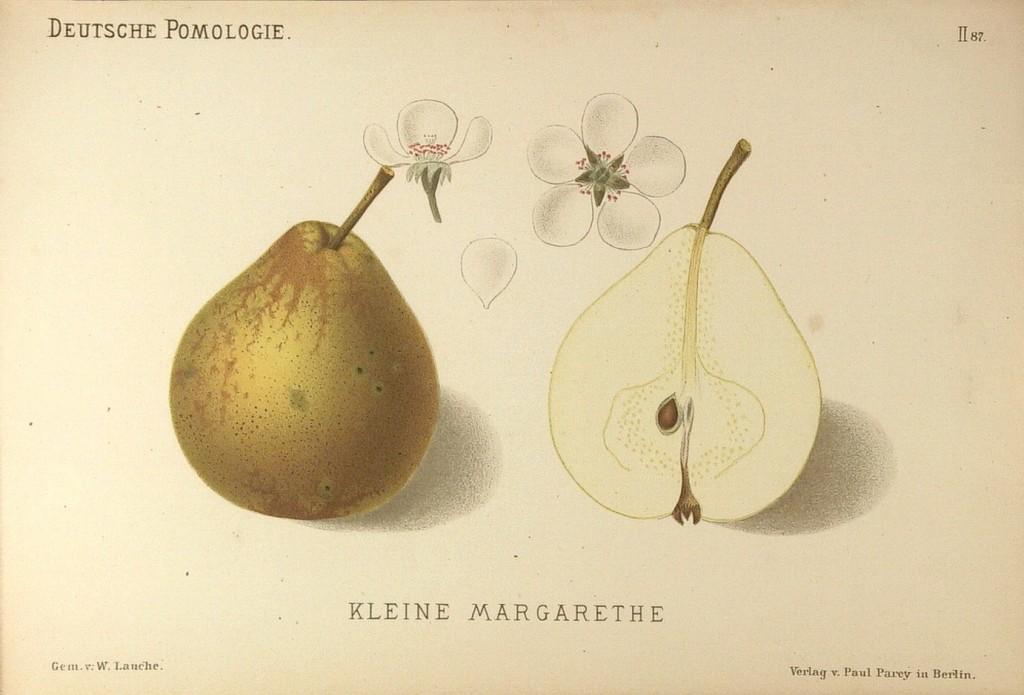 """Grusza odmiany Winiówka Francuska (Małgorzatka), nazywana także często Małgorzatka – rysunek z książki """"Deutsche Pomologie"""" Wilhelma Lauche z 1882-1883, ze zborów biblioteki Wageningen UR."""