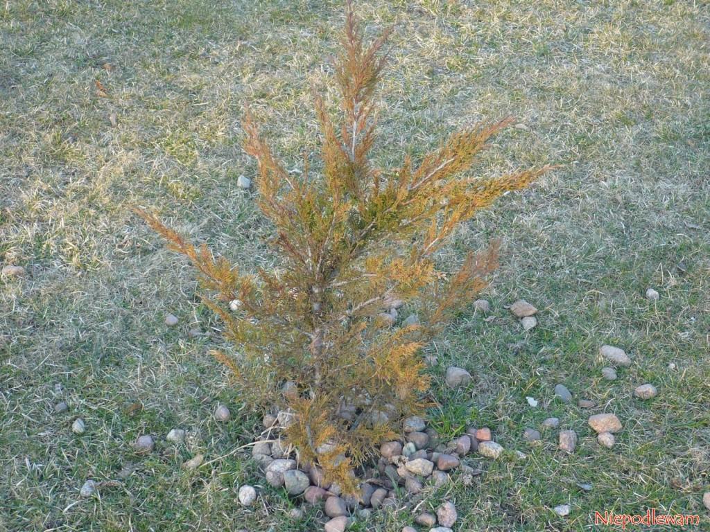 Zimą jałowiec Tamariscifolia przebarwia się na rudy kolor. Tego efektu nie ma, gdy krzew rośnie w krajach, gdzie nie ma mrozów. Fot. Niepodlewam