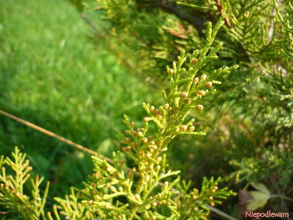 Łuski jałowca sabińskiego Tamariscifolia są niekłujące. Fot. Niepodlewam