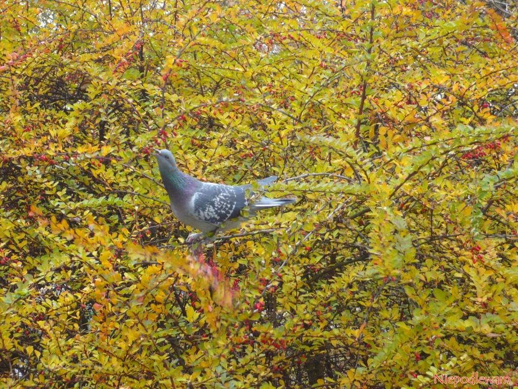 Odchody gołębi są bardzo dobrym, naturalnym nawozem do ogrodu. Fot. Niepodlewam